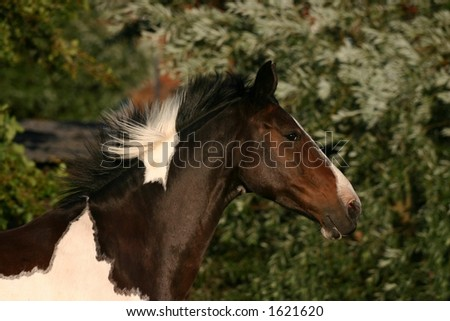 A close-up of a horse running against a green background. It's mane is fowing in the wind - stock photo