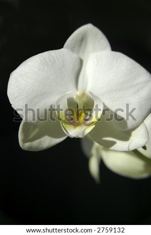 A close up of a lovely white Orchid in full bloom