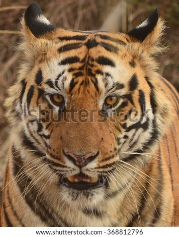 A close up of a Male Bengal Tiger's face.Image captured during a safari at Bandhavgarh National park in Madhya Pradesh,India  Scientific name- Panthera Tigris - stock photo