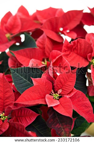 A close up of a poinsettia plant isolated on a white background used for Christmas displays and themes.  - stock photo