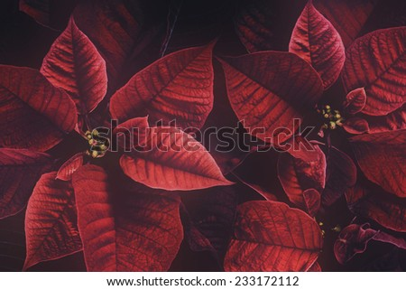 A close up of a poinsettia plant. The plant is most commonly used for Christmas displays and themes.  Filtered for a retro, vintage look.  - stock photo