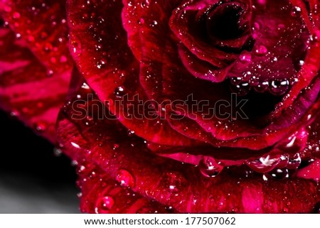 A close up of a rose with water drops on its petals. - stock photo