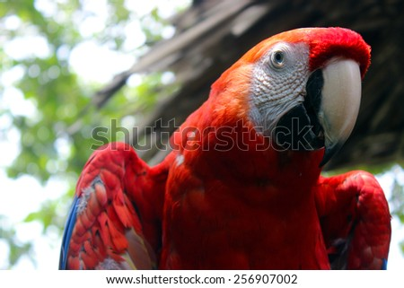 A close up of a scarlet macaw in the rainforest of Costa Rica.  - stock photo