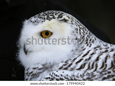A close-up of a Snowy Owl (Bubo scandiacus).  - stock photo