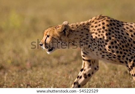A close up of a stalking cheetah in late afternoon light - stock photo
