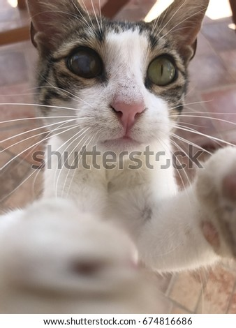 A close up of a stripy and white cat with different colored eyes extending its paws