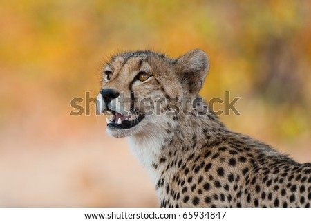 A close up of a young cheetah - stock photo