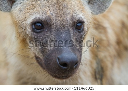 A close up of a young spotted hyena's face