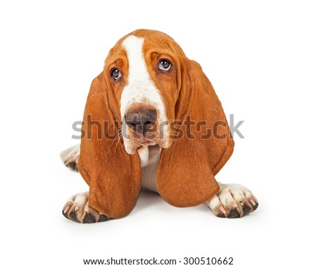 A close up of an adorable Basset Hound Puppy with big ears and sad eyes - stock photo