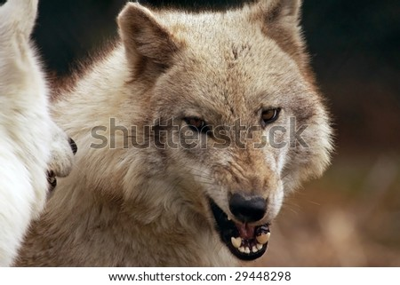 A close-up of an adult female wolf (canis lupus) snarling at another wolf - stock photo