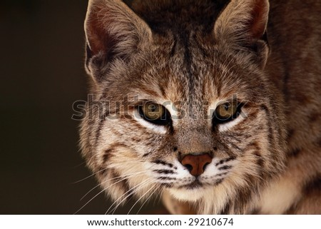 A close-up of an adult male bobcat (lynx rufus) - stock photo