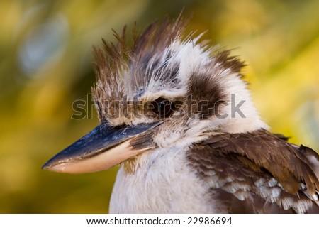 A close up of an Australian laughing Kookaburra - stock photo