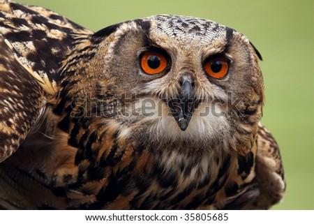 A close-up of an Eurasian Eagle Owl (bubo bubo). - stock photo