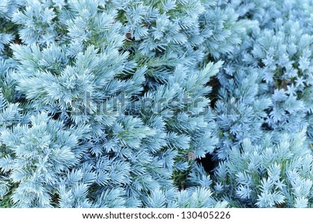 A close-up of an evergreen juniper tree  with new blue needles - stock photo