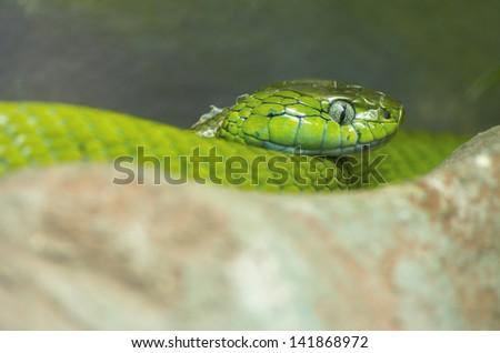 a close-up of an green mamba - stock photo