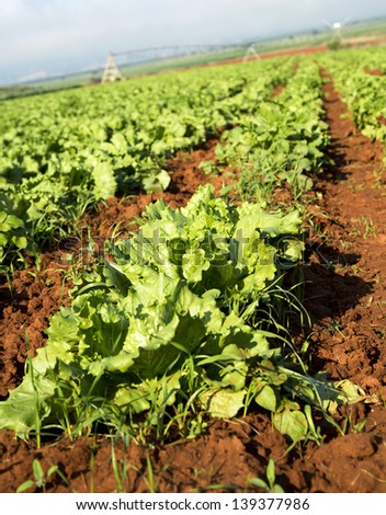 A close up of beautiful green crops on a farm - stock photo