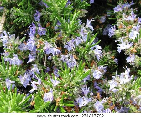 A close up of blue flowering rosemary (rosmarinus officinalis) - stock photo