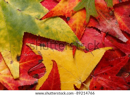 A close-up of colorful autumn leaves - stock photo
