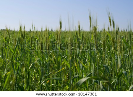 A close up of green wheat field