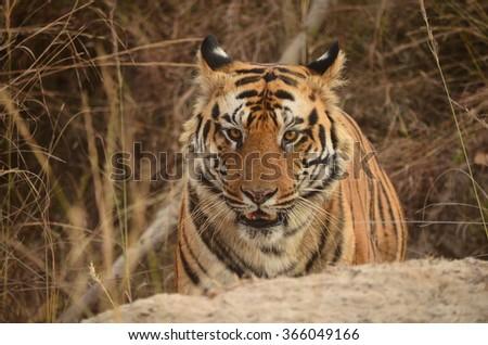 A close up of Male Bengal Tiger.Image captured during a safari at Bandhavgarh National park in Madhya Pradesh,India Scientific name- Panthera Tigris  - stock photo