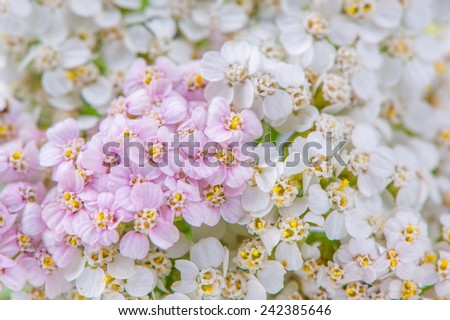 A close-up of pink and white yarrow (achillea) flowers  - stock photo