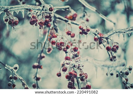 A close up of red berries on tree branches covered in ice during the winter season.  Filtered for a retro, vintage look.  - stock photo