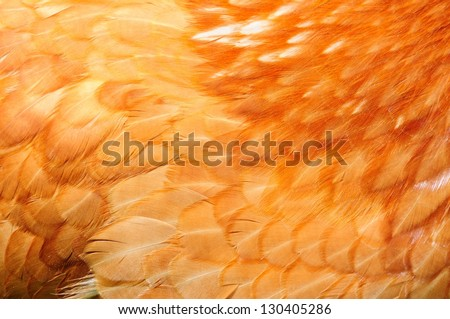 A close-up of red chicken feathers - stock photo