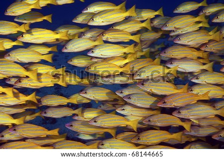 A close up of schooloing blue strped snappers - stock photo