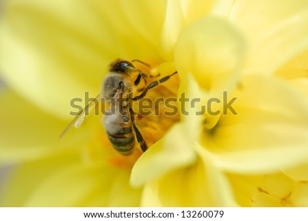 A close-up of the bee on the yellow flower