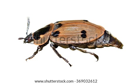 A close up of the beetle (Silphidae). Isolated on white.