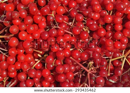 A close up of the berries of arrow-wood. - stock photo