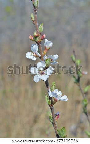 A close up of the blooming branch of a cherry-tree in orchard. - stock photo