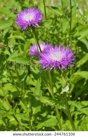 A close up of the blooming medicinal herb (Rhaponticum carthamoides). - stock photo