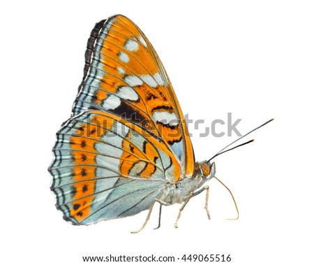 A close up of the butterfly (Limenitis populi ussuriensis), profile. Isolated on white. - stock photo