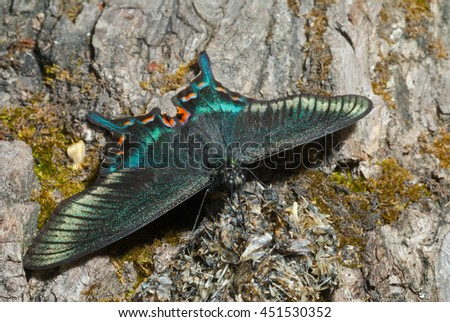 A close up of the butterfly (Papilio maackii f. raddei), spring generation. - stock photo