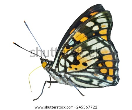 A close up of the butterfly (Sephisa dichroa princeps). Isolated on white. - stock photo