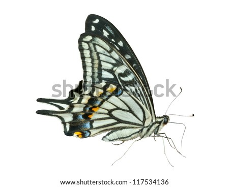 A close up of the butterfly swallowtail (Papilio xuthus), profile. Isolated on white. - stock photo