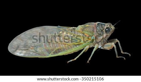 A close up of the cicada. Isolated on black. - stock photo