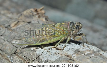 A close up of the cicada on tree trunk. - stock photo