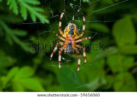 A close up of the doe of spider on spider-web. Doe. - stock photo