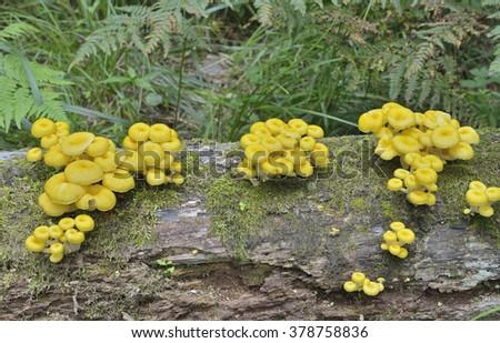 A close up of the edible mushrooms (Pleurotus citrinopileatus) on tree. - stock photo