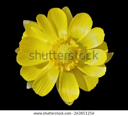 A close up of the flower pheasant's eye (Adonis). Early spring. Isolated on black. - stock photo