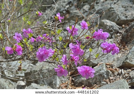 A close up of the flowers of rhododendron (Rhododendron mucronulatum). - stock photo