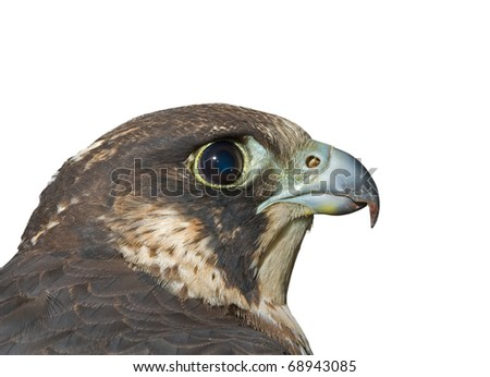 A close up of the head of falcon (Falco subbuteo). Profile. Isolated on white. - stock photo