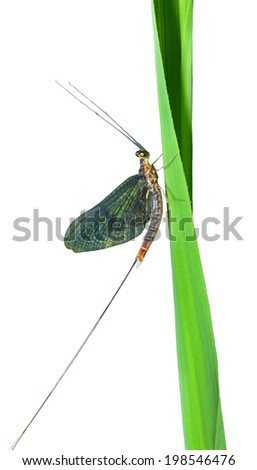 A close up of the insect mayfly on grass-blade. Isolated on white.