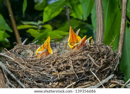 A close up of the nest of thrush with small babies. - stock photo
