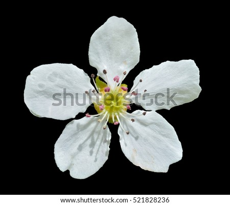 A close up of the pear flower. Isolated on black.