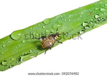 A close up of the small beetle chafer on grass-blade with raindrops. Isolated on white. - stock photo