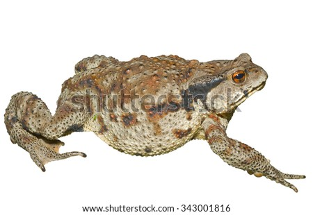 A close up of the toad (Bufo gargarizans). Isolated on white. - stock photo