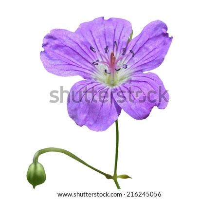 A close up of the wildflower geranium. Isolated on white. - stock photo